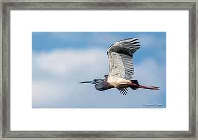 Tri-colored Heron In Flight Framed Print