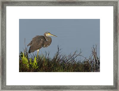 Tri-colored Heron In The Morning Light Framed Print