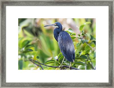 Tri-colored Heron On A Branch  Framed Print