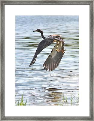 Tri Colored Heron Over The Pond Framed Print