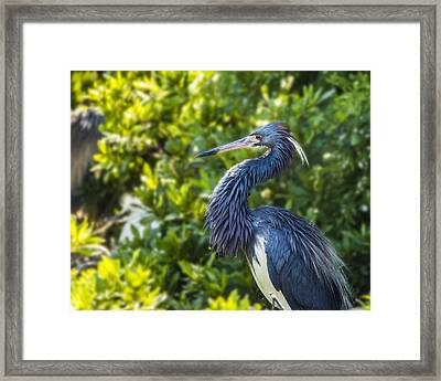 Framed Print featuring the photograph Tri-colored Heron Plumage by Paula Porterfield-Izzo