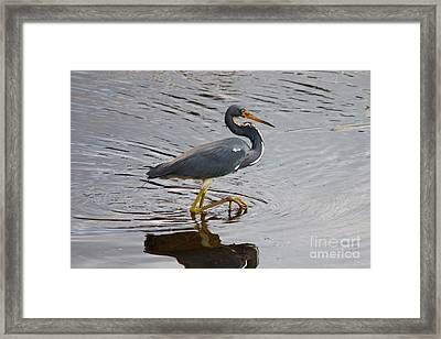 Tri-colored Heron Wading In The Marsh Framed Print
