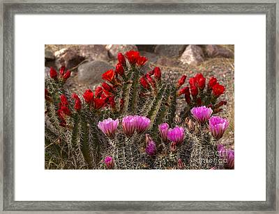 Trichocereus Hybrid Or Torch Cacti Framed Print by Kenneth Highfill