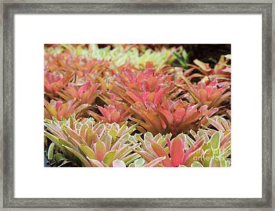 Tricolor Bromeliad Framed Print by Jamie Gray