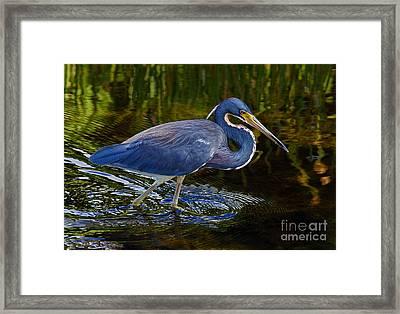 Tricolor Heron Framed Print