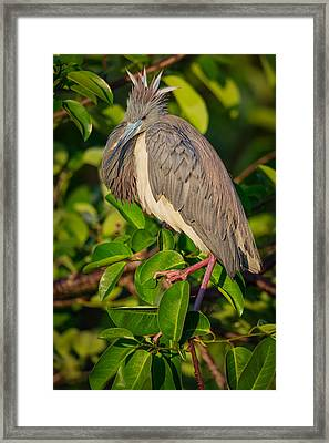 Tricolored At The Venice Rookery Framed Print by Andres Leon