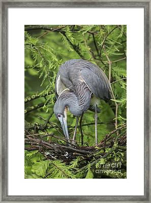Tricolored Heron At  Nest Framed Print by Maria  Struss