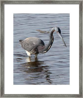 Tricolored Heron Framed Print