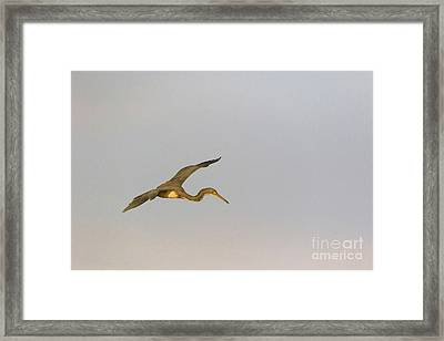 Tricolored Heron In Flight Framed Print by Louise Heusinkveld