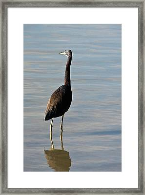 Tricolored Heron Framed Print by Rodney Cammauf