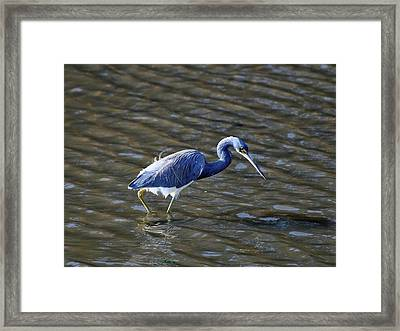 Tricolored Heron Wading Framed Print