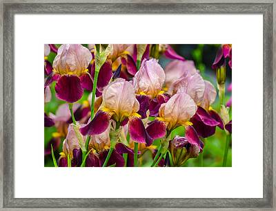Tricolored Irisses Framed Print by Rainer Kersten