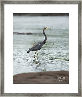 Tricolored..  Framed Print