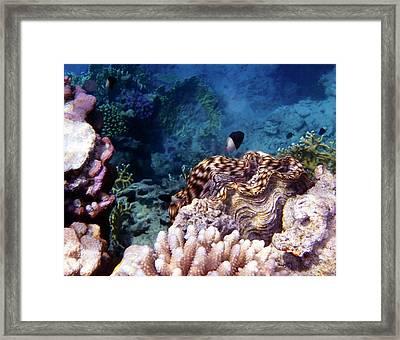 Tridacna Squamosa  Framed Print