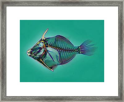 Triggerfish Skeleton, X-ray Framed Print by D. Roberts