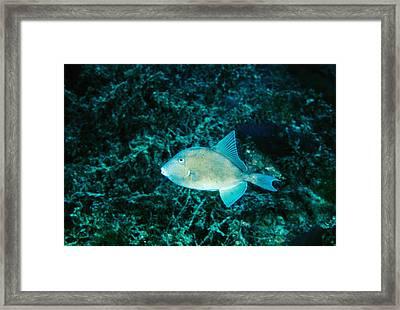 Triggerfish Swimming Over Coral Reef Framed Print by James Forte