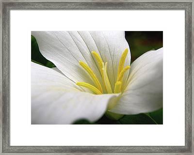 Trillium Grandiflorum Framed Print