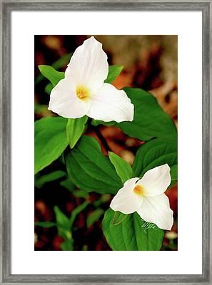 Trilliums Framed Print