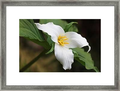 Trillum Wild Flower  Framed Print by Jennie Marie Schell