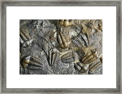 Trilobite Fossils Framed Print by Sinclair Stammers