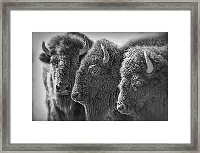 Trio American Bison Black Framed Print
