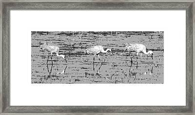 Trio Of Cranes Framed Print