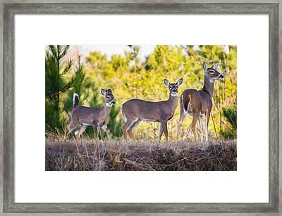 Trio Of Deer Framed Print