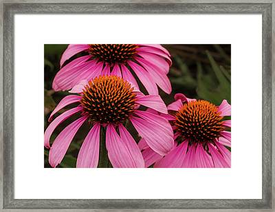 Trio Of Echinacea Framed Print by Jean Noren