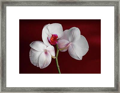 Trio Of Orchids Framed Print