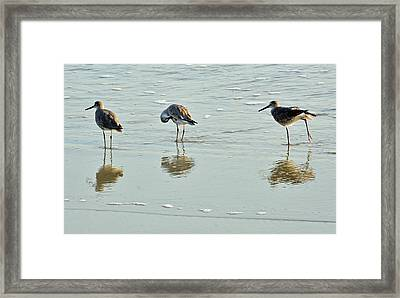 Trio Of Willets On Jekyll Framed Print by Bruce Gourley