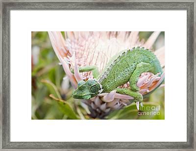 Trioceros Jacksonii - Jackson's Chameleon - Maui Hawaii Framed Print