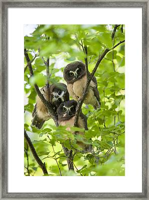 Triple Cute Saw-whet Owls Framed Print by Tim Grams