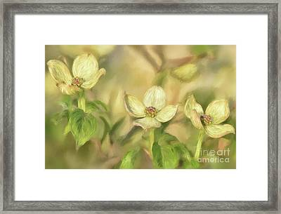 Triple Dogwood Blossoms In Evening Light Framed Print by Lois Bryan