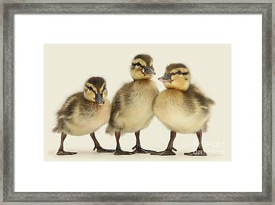 Triple Ducklings Framed Print