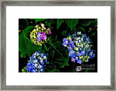 Framed Print featuring the photograph Triple Hydrangia In Spring by Marsha Heiken