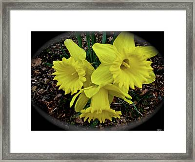 Triple Play Daffodils Framed Print