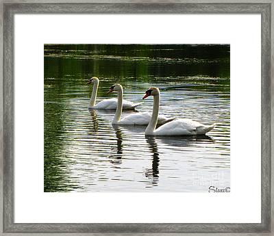 Triplet Swans Framed Print
