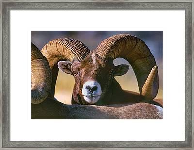 Trophy Bighorn Ram Framed Print