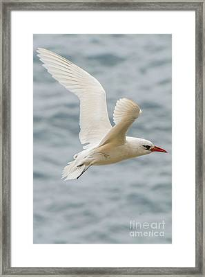 Tropic Bird 2 Framed Print by Werner Padarin