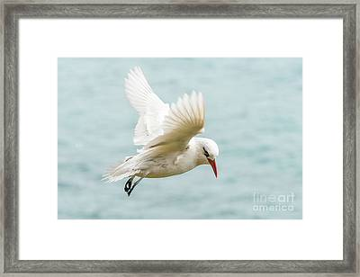Tropic Bird 4 Framed Print