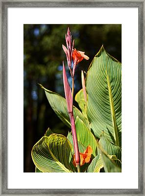 Tropical Beauty - Orange Canna Framed Print