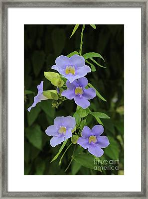 Tropical Blue Flowers Framed Print by Carol Groenen