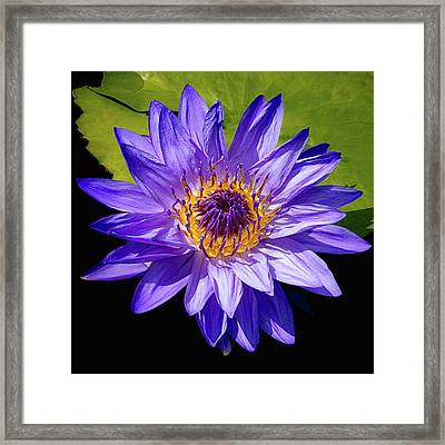 Tropical Day Blooming Water Lily In Lavender Framed Print by Julie Palencia
