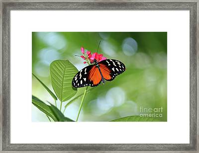 Tropical Hecale Butterfly Framed Print