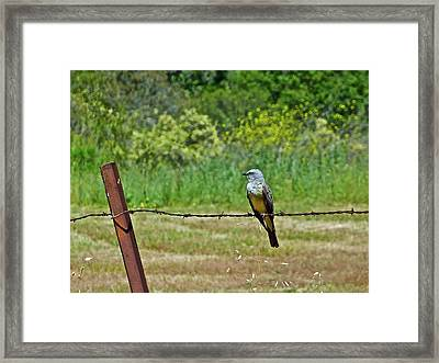 Tropical Kingbird Framed Print