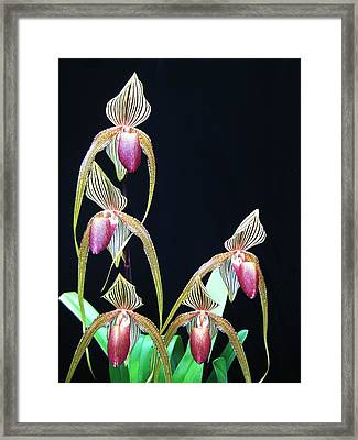 Tropical Lady Slipper 2 Framed Print by Shirley Sirois
