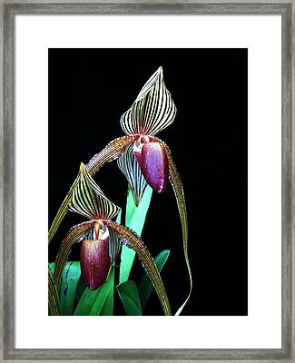 Tropical Lady Slipper Framed Print by Shirley Sirois
