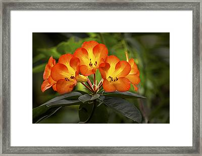 Tropical Rhododendron Framed Print