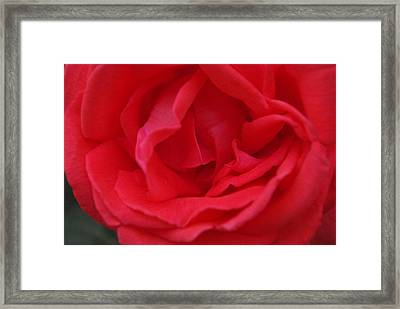 Tropicana Rose Framed Print by Robyn Stacey