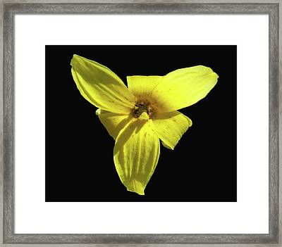 Trout Lily Framed Print
